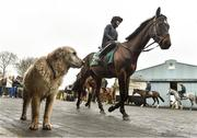 20 February 2019; Willie Mullins dog Reilly watches as Kemboy and Ruth Dudfield pass during a visit to Willie Mullins' yard at Willie Mullins Racing in Bagenalstown, Carlow. Photo by Matt Browne/Sportsfile