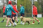 15 April 2019; A dog shakes water from his coat during Munster Rugby Squad Training at University of Limerick in Limerick. Photo by Brendan Moran/Sportsfile