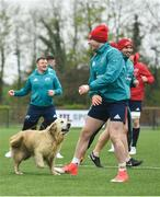 15 April 2019; A dog gets involved in the warm-up during Munster Rugby Squad Training at University of Limerick in Limerick. Photo by Brendan Moran/Sportsfile