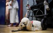 27 April 2019; Assistance dog Georgia looks on during the I-Karate 3rd World Cup at DCU in Dublin. Photo by David Fitzgerald/Sportsfile