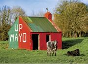 "2 March 2019; A familiar Mayo landmark. The best maintained cowshed in the country – situated at Manulla Junction near Breaffy – stands as a permanent symbol of Mayo fans' loyalty and longing. Photo by Piaras Ó Mídheach/Sportsfile. This image may be reproduced free of charge when used in conjunction with a review of the book ""A Season of Sundays 2019"". All other usage © SPORTSFILE"