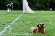 30 June 2020; St Sylvester's supporter Mollie the dog looks unimpressed as the ball hits the net for a goal during the Junior B Hurling Challenge game between St Sylvester's and St Patrick's Donabate at Malahide Castle Pitches in Dublin. Photo by Piaras Ó Mídheach/Sportsfile