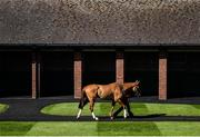 15 March 2017; Poetic Rhythm in the presaddling paddock prior to the Neptune Investment Management Novices' Hurdle during the Cheltenham Racing Festival at Prestbury Park in Cheltenham, England. Photo by Seb Daly/Sportsfile